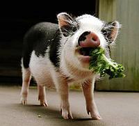 БВМД 10-15% (быстрый откорм свиней), ЕС
