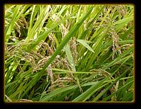 Масло Зародышей риса, 50 мл