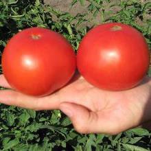 Семена томата Багира F1 (5 г) Clause