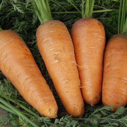 Насіння моркви Забарвлення (500 г)