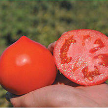 Семена томата Каста F1 (1000 сем.) Clause
