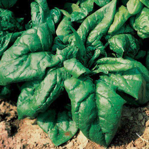 Семена  шпината Лагос F1 (250 г)
