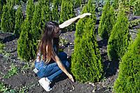 "Туя западная ""Смарагд"" (Thuja occidentalis Smaragd) 1м - высота"