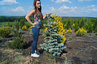 "Ель колючая ""Хопси"" (Picea pungens ""Hoopsii"") 1.2м"