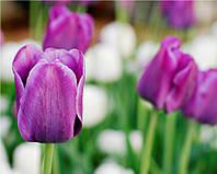 Фотообои тюльпаны фиолетовые