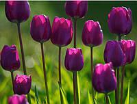 Фотообои тюльпаны темно-фиолетовые