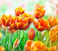 Фотообои тюльпаны оранжевые