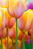 Фотообои тюльпаны и стебли