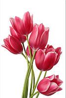 Фотообои тюльпаны розовые на белом