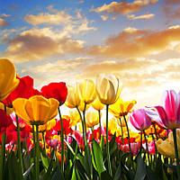 Фотообои тюльпаны закат