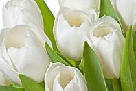 Фотообои тюльпаны белые макро