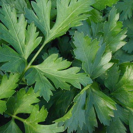 Семена петрушки листовой Новас (100 г)