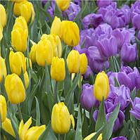Фотообои тюльпаны желтые и фиолетовые