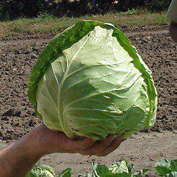 Семена капусты б/к Оракл F1 (2500 сем.)