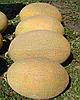 Семена дыни Мае F1 5000 семян Clause
