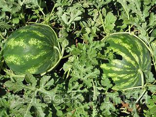 Семена арбуза Крымсон Свит 0,5 кг  Clause