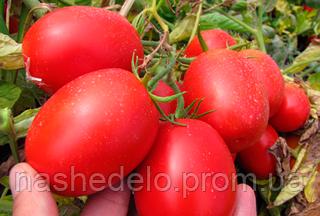 Семена томата Пьера Росса F1 5000 семян Clause