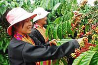 Кофе – жемчужина Вьетнама