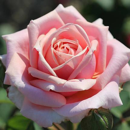 """Роза  Чайно-гибридная сорт """" Фредерик Мистраль"""" ( саженцы высшего качества, класс АА+ ), фото 2"""