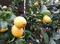 Экзотический лимон Мейер