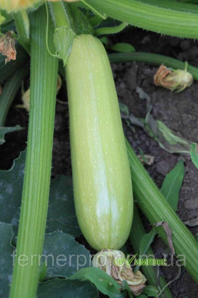 Семена кабачка Ардендо F1 \ Ardendo 174 F1 500 семян Enza Zaden