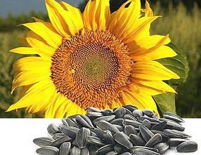 Семена подсолнечника Гавана (устойчивость к заразихе A-D) 103 дня, Euralis Semences