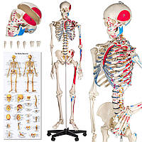 Скелет человека человеческий модель 181 см