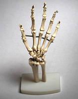 Анатомическая модель руки.