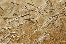Фотообои Пшеница