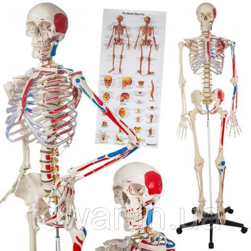 Скелет анатомический человека 181 см + плакат 200 костей Германия