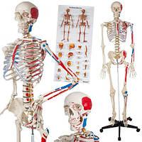 Скелет анатомический человека 181 см + плакат 200 костей Германия, фото 1