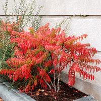 Сумах пушистый Диссекта (с. оленерогий, уксусное дерево)