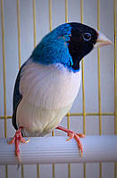 Амадина гульда - синяя, фото 1