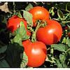 Семена томата Майсалун F1 1000 с