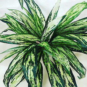 Искусственное растение.Декоративный куст-аглонема., фото 2