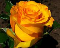 Саджанці троянд Керн