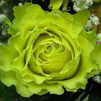 Саджанці троянд Super Green