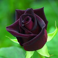 Саджанці троянд Black Baccara (Баккара)
