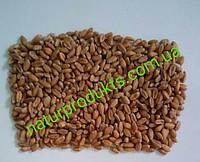 Пшеница для проращивания (сорт Оксана), 1 кг
