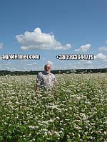 Семена гречихи PENNY Канадский трансгенный сорт.