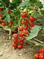 Семена томата Хилма (Elisem) F1 Clause 1000 семян
