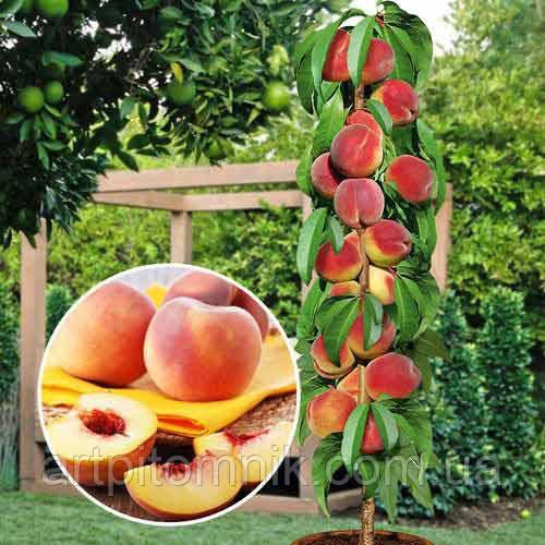 Персик колоновидна Медовий