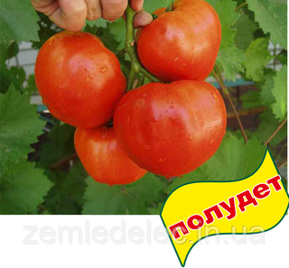 Семена томата Альянс F1 500 семян Clause