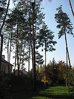Обрезка деревьев 2229113 Порезка дерева, удаление деревьев Киев.