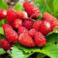 Свежие ягоды земляники