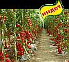 Семена томата Хилма F1 1000 семян Clause