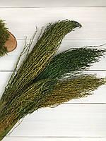 Сухоцвет финик зеленый