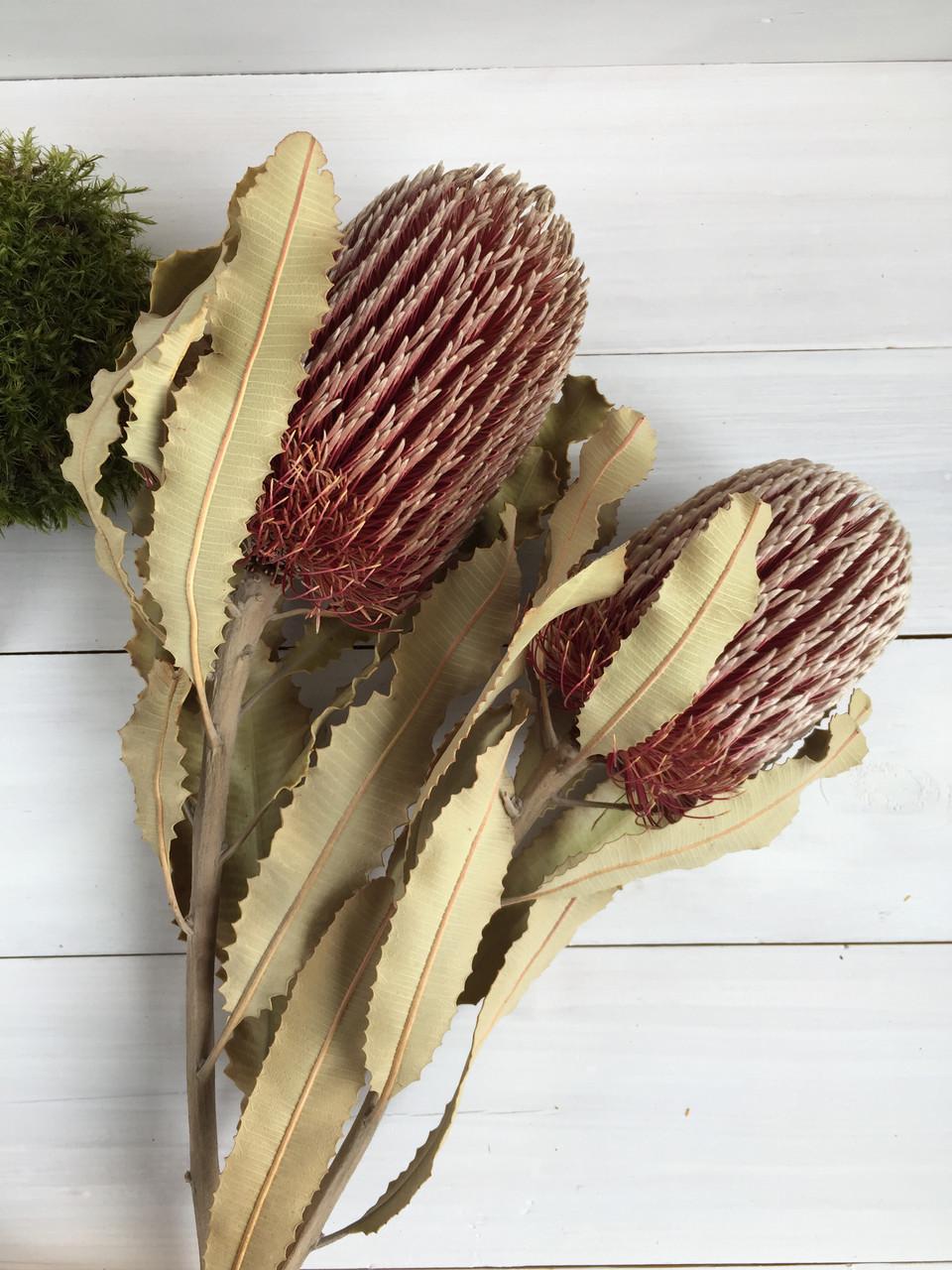 Банксия сухоцвет Banksia