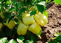 Семена перца сладкого Никита F1 500 семян Clause