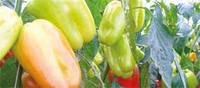 Семена перца среднераннего